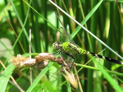 Eastern Pondhawk (Erythemis simplicicollis), female, Lake Cheston