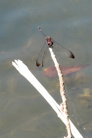 Swift Setwing (Dythemis velox)