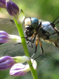 Great Blue Skimmer (Libellula vibrans), male, Virginia Avenue