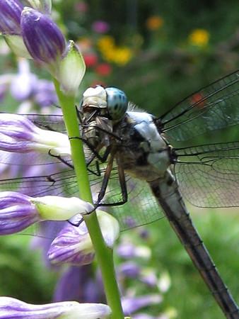 Great Blue Skimmer (Libellula vibrans)