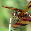 Halloween Pennant (Celithemis eponina), male, Farm Pond