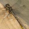 Lancet Clubtail (Gomphus (Gomphus) exilis), Lake Cheston