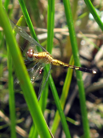 Little Bue Dragonlet (Erythrodiplax minuscula)