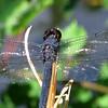 Slaty Skimmer (Libellula incesta), male, Lake Cheston