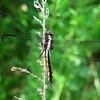 Slaty Skimmer (Libellula incesta), young male, Lake Cheston
