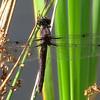 Slaty Skimmer (Libellula incesta), female, Lake Cheston