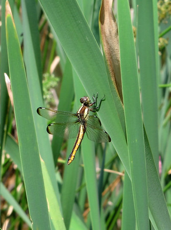 Spangled Skimmers (Libellula cyanea)