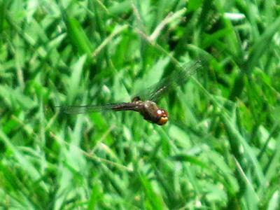 Spot-winged Glider (Pantala hymenaea)