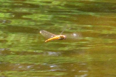 Wandering Glider (Pantala flavescens), Lake Cheston