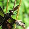 Widow Skimmer (Libellula luctuosa), immature male?, Virginia Avenue