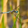 Blue Dasher (Pachydiplaz longipennis), male, Dreher Park, Palm Beach County, FL