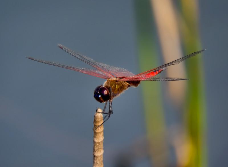 Antillean Saddlebags, Tramea insularis, male, Snake Warrior Wildliffe Area, Broward County, FL