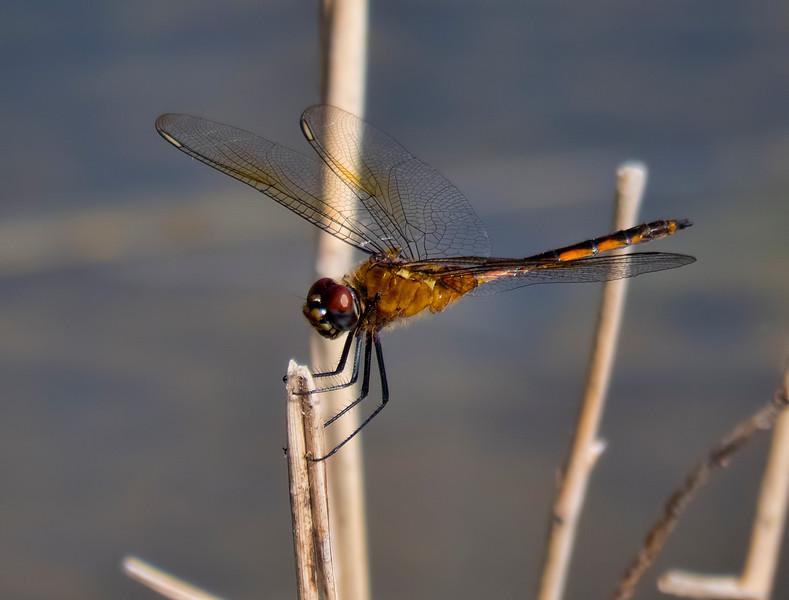 Probable Four-spotted Pennant, Brachymesia gravida, immature male, Snake Warrior Wildlife Area, Broward County, FL