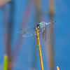 Spot-tailed Dasher (Microthyria aequalis), male, Dreher Park, Palm Beach County, FL