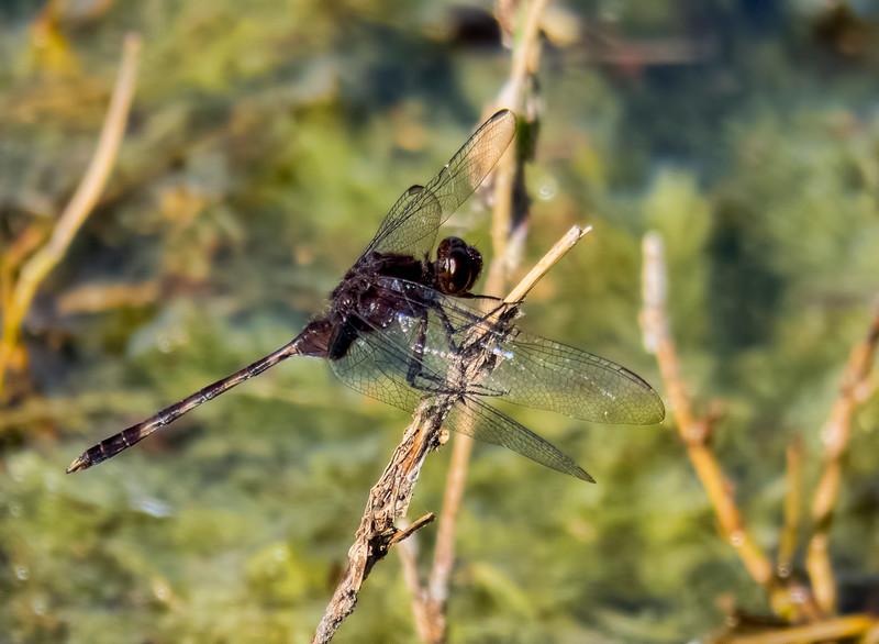 Pin-tailed Pondhawk, Erythemis plebeja, male, Dreher Park, Palm Beach County, FL