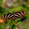 Zebra Heliconia, Everglades NP, Monroe County, FL