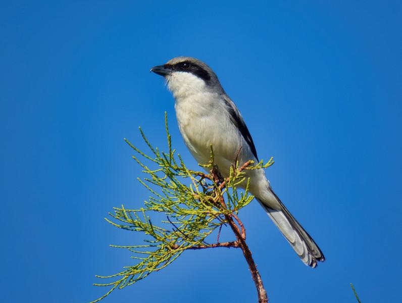Loggerhead Shrike, Loxahatchee NWR, Palm Beach County, FL