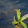 Florida Bluet, Enallagma pollutum, male, Dreher Park, Palm Beach County, FL