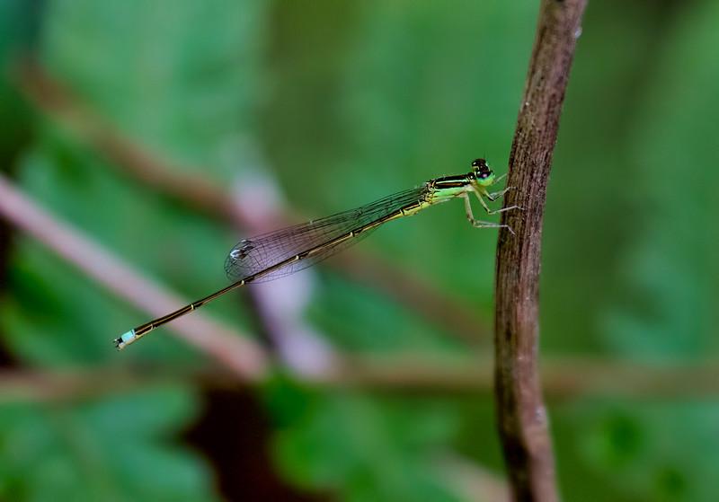Furtive Forktail, Ischnura prognata, male, Jones Grade Trail, Fakahatchee Strand Preserve SP, Collier County, FL