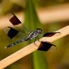 Band-winged Dragonlet, Erythrodiplax umbrata, male, Dreher Park, Palm Beach County, FL