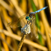 Blue Dasher (Pachydiplax longipennis), male, Dreher Park, Palm Beach County, FL