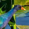 Purple Gallinule, Loxahatchee NWR, Palm Beach County, FL