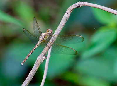 Band-winged Dragonlet (Erythrodiplax umbrata), female, Loxahatchee NWR
