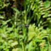 Cyrano Darner (Nasiaeschna pentacantha), male, Loxahatchee NWR