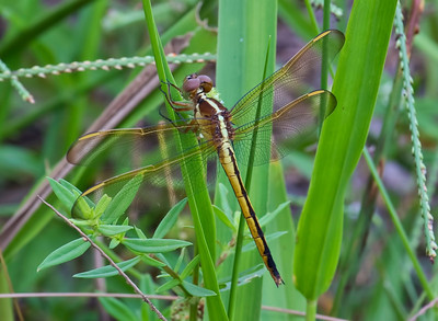 Needham's Skimmer (Libellula needhami), female, Loxahatchee NWR