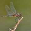 Metallic Pennant (Idiataphe cubensis), male, Dreher Park, Palm Beach County, FL