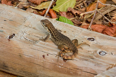 Cuban Curly-tailed Lizard (Leiocephalus carinatus), Loxahatchee NWR