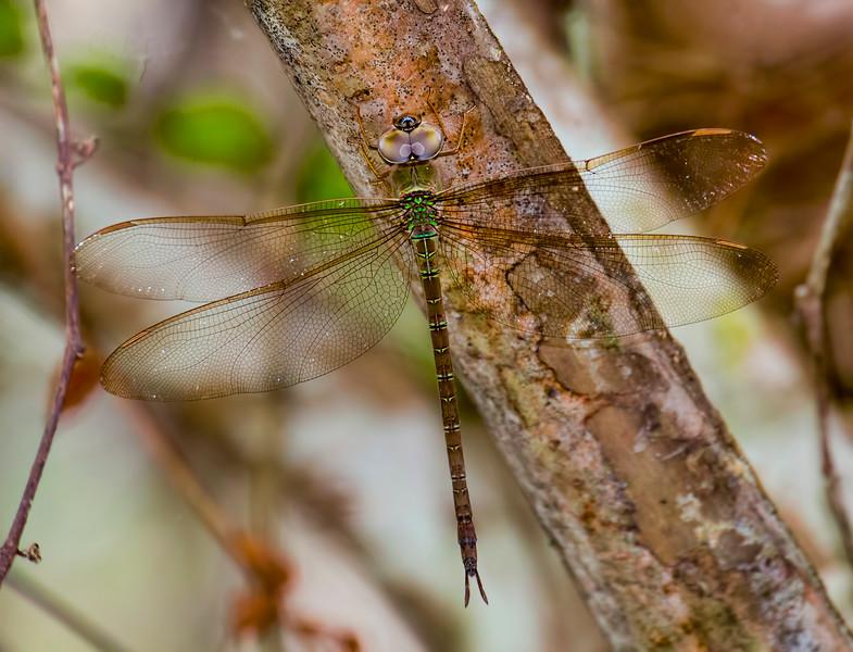 Twilight Darner, Gynacantha nervosa, female, Jones Grade Trail, Fakahatchee Stand Preserve SP, Collier County, FL