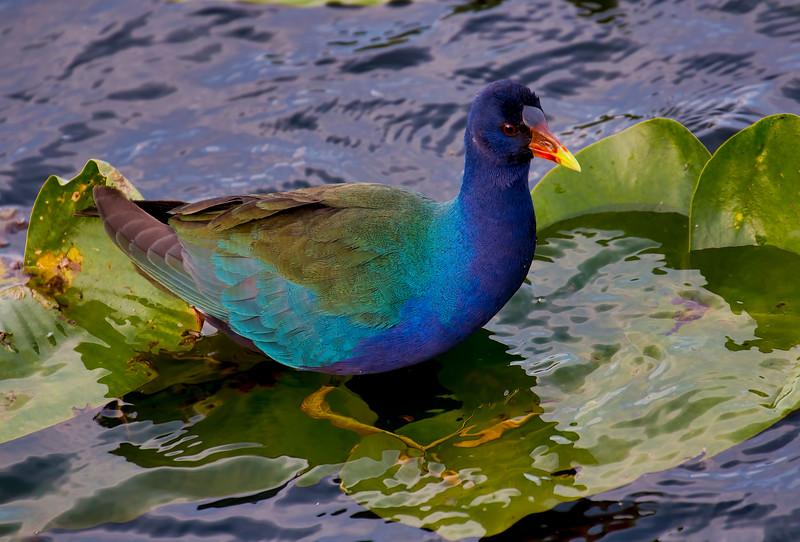 Purple Gallinule, Everglades NP, Dade County, FL