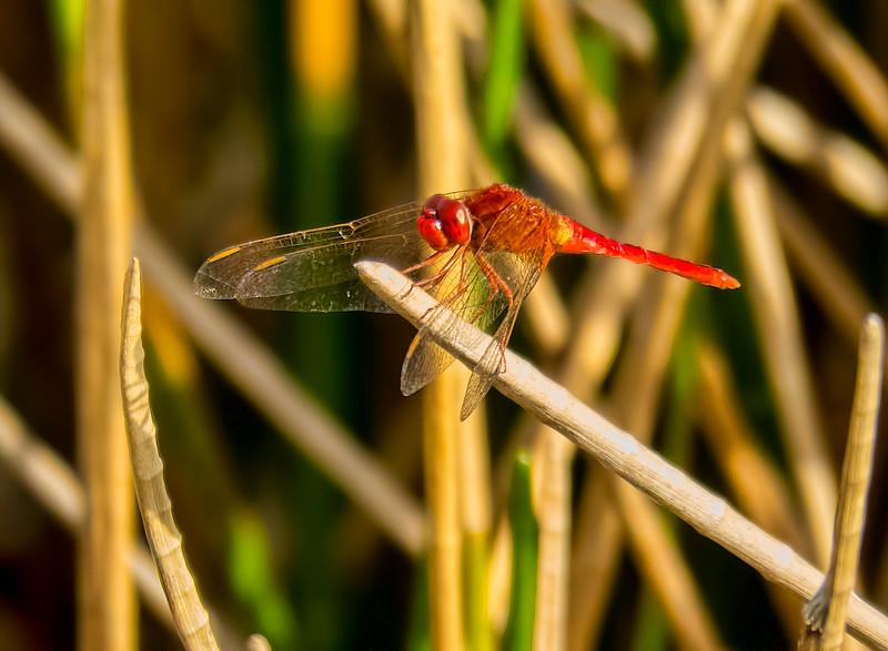Scarlet Skimmer (Crocothemis servilla), male, Dreher Park, Palm Beach County, FL