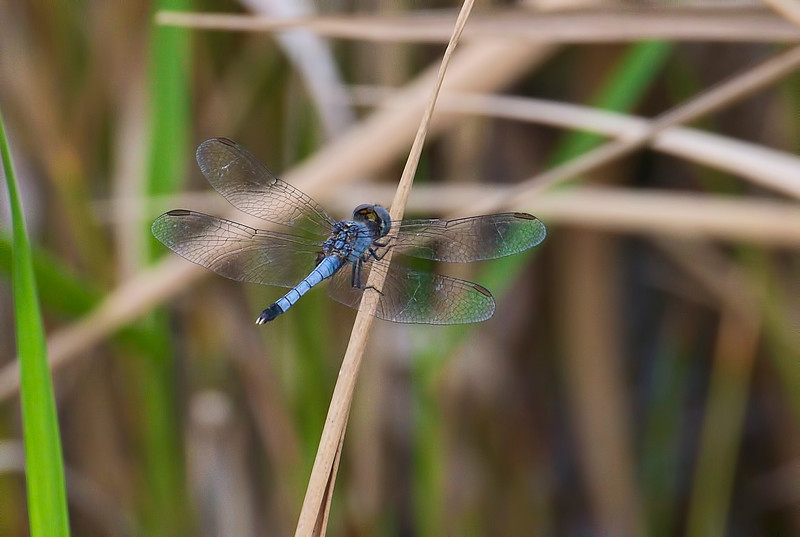 Little Blue Dragonlet (Erythrodiplax minuscula), male, Loxahatchee NWR