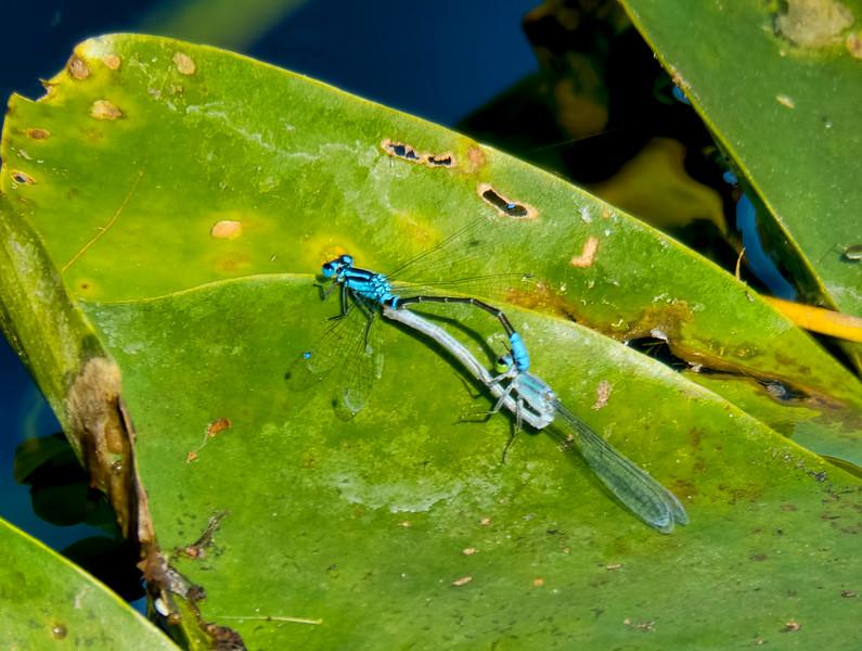 Lillypad Forktail, Ischnura kellicotti, male in wheel with blue morph female, Loxahatchee NWR, Palm Beach County, FL