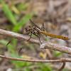 Roseate Skimmer (Orthemix ferrunginea), female, Loxahatchee NWR