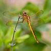 Needham's Skimmer (Libellula needhami), immature male, Loxahatchee NWR