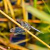 Little Blue Dragonlet (Erythrodiplax minuscula), male, Dreher Park, Palm Beach County, FL