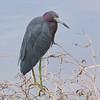 Little Blue Heron (Egretta caerulea), Loxahatchee NWR