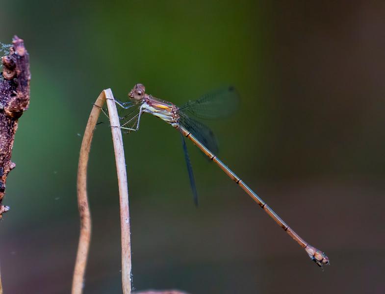 Blue-striped Spreadwing<br /> Blue-striped Spreadwing, Lestes tenuatus, immature female, Jones Grade Trail, Fakahatchee Stand Preserve SP, Collier County, FL