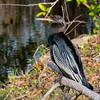 Anhinga, Everglades NP, Dade County, FL