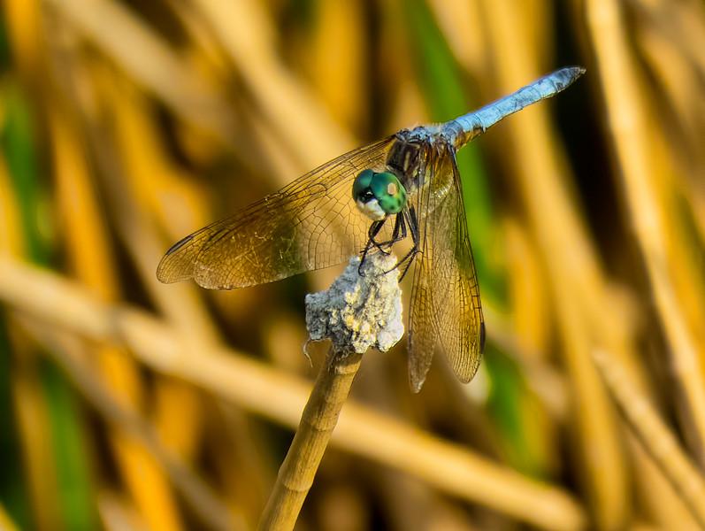 Blue Dasher (Pachydiplax longipennis), male, Dreher Park, Palm Beach County, FL