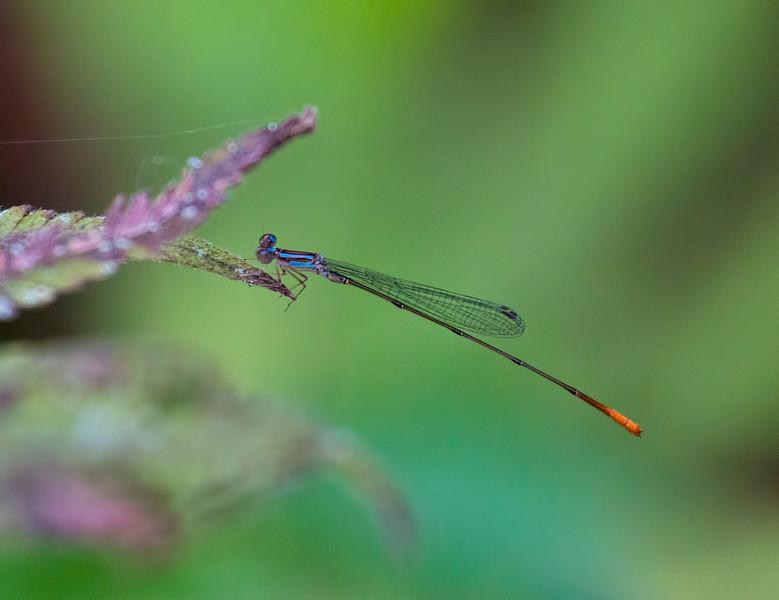 Lucifer Swampdamsel, Leptobasis lucifer, male, Jones Grade Trail, Fakahatchee Stand Preserve SP, Collier County, FL