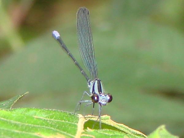 Argia gaumeri (male)