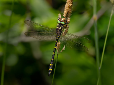 Twin-spotted Spiketail (Cordulagaster maculata), male