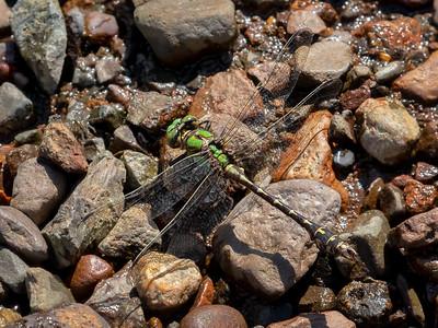 Boreal Snaketail (Ophiogomphus colubrinus), male