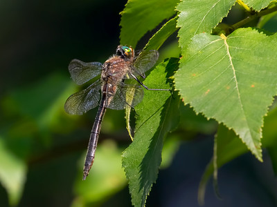 American Emerald (Cordulia shurtleffii), female