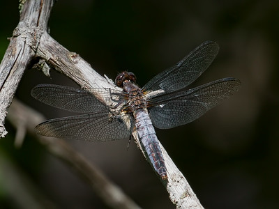 Chalk-fronted Corporal (Ladona julia), Female