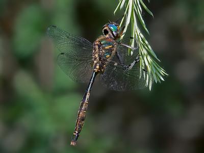 Bursh-tipped Emerald (Somatochlora walshii), male (POSED)